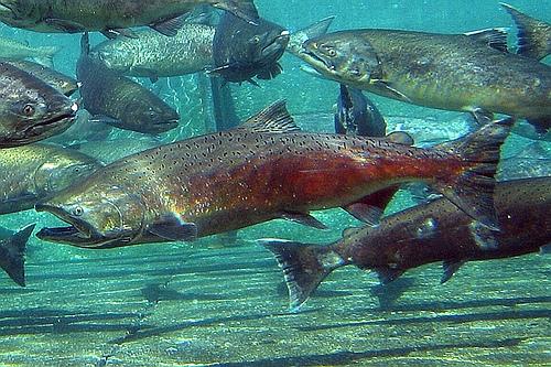 california water chinook salmon