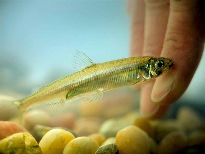 Delta Smelt - tiny fish, big trouble