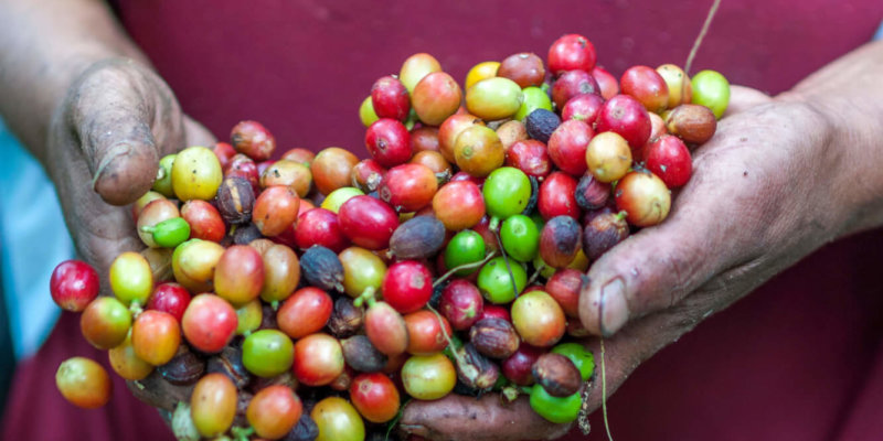 coffee harvest facing extinction from climate change chaos