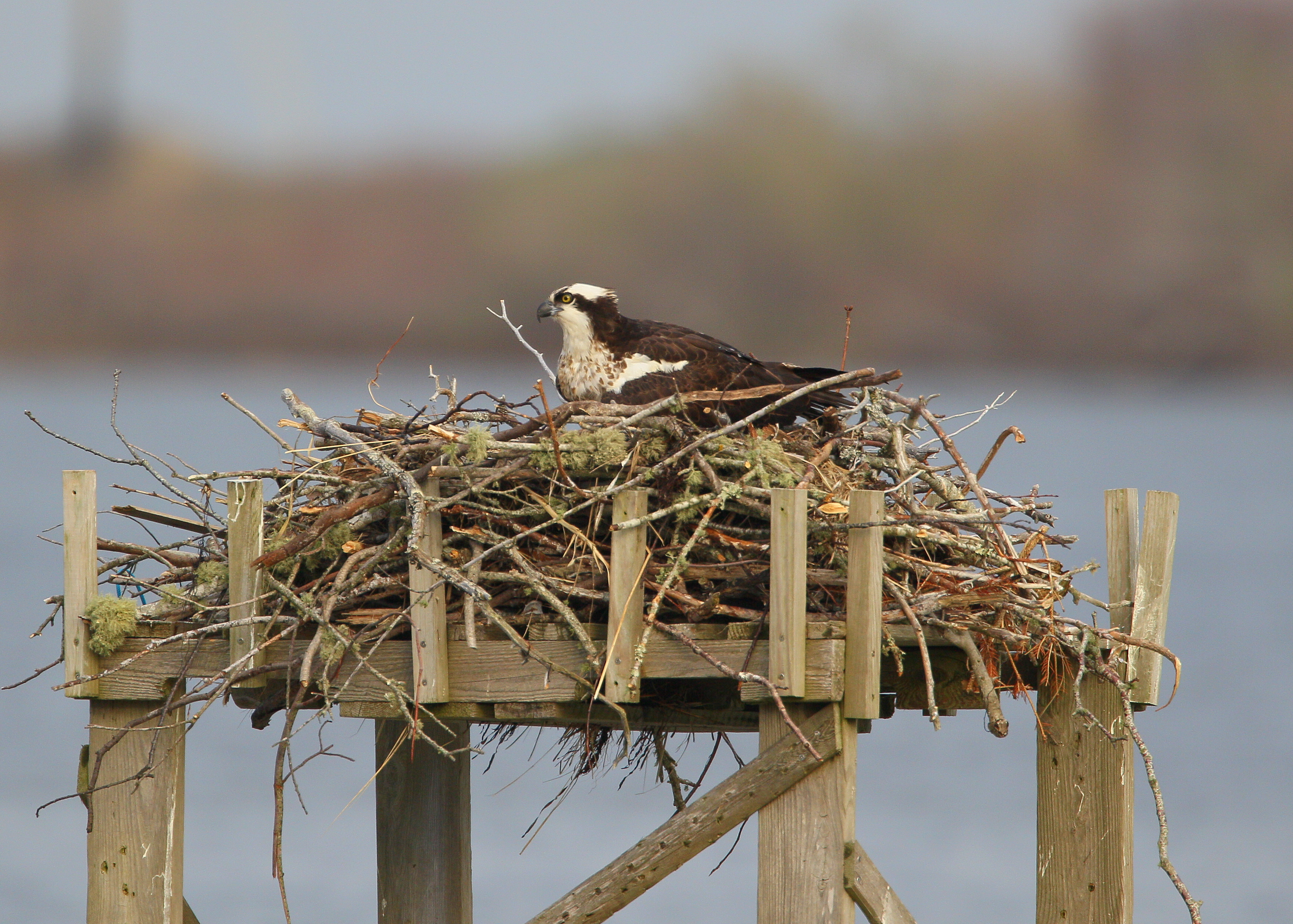 nesting osprey back from the brink of extinction