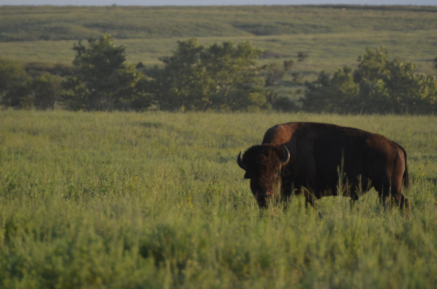 A young bull bison grazes on the Tallgrass Prairie Preserve, Pawhuska, Oklahoma. Matthew Moran, CC BY-ND