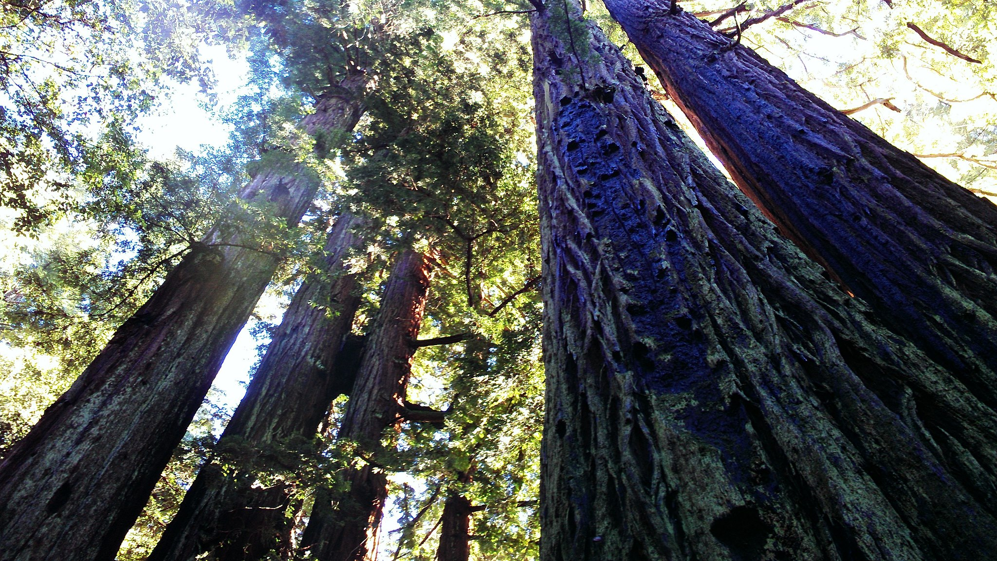 forest - redwoods in California