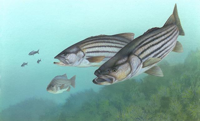 striped bass fish