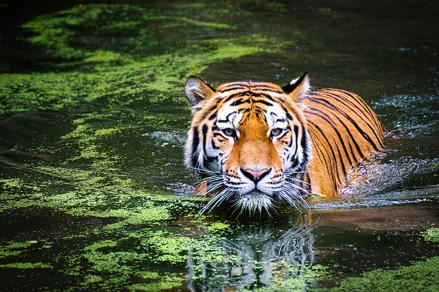 (Tiger mage by Andreas Breitling from Pixabay)