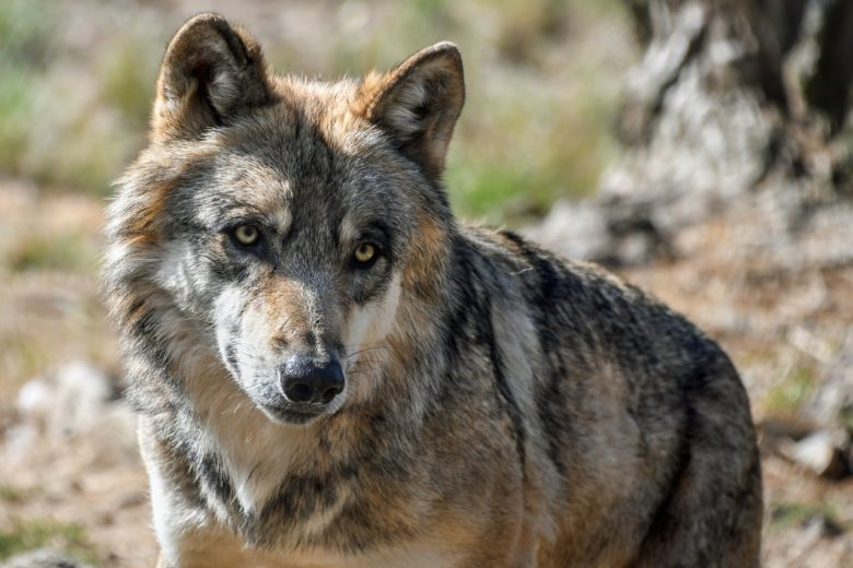 Gray wolf - back from the brink of extinction