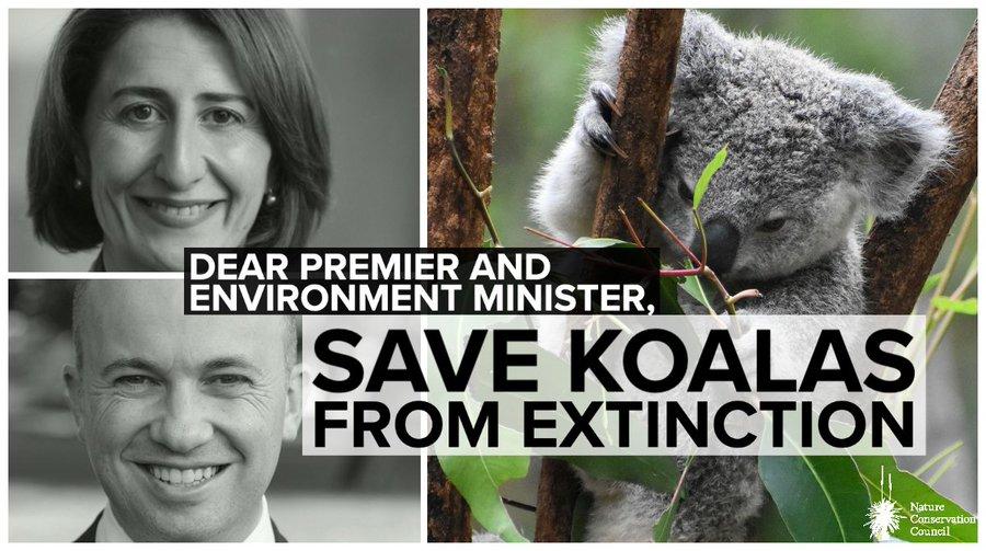 Koalas Face Extinction in New South Wales, Australia