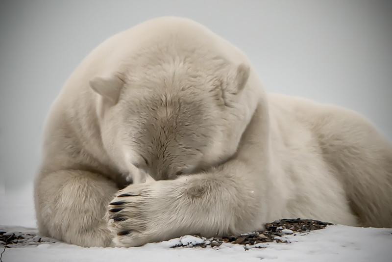 oil drilling in the Arctic National Wildlife Refuge - polar bear facepalm