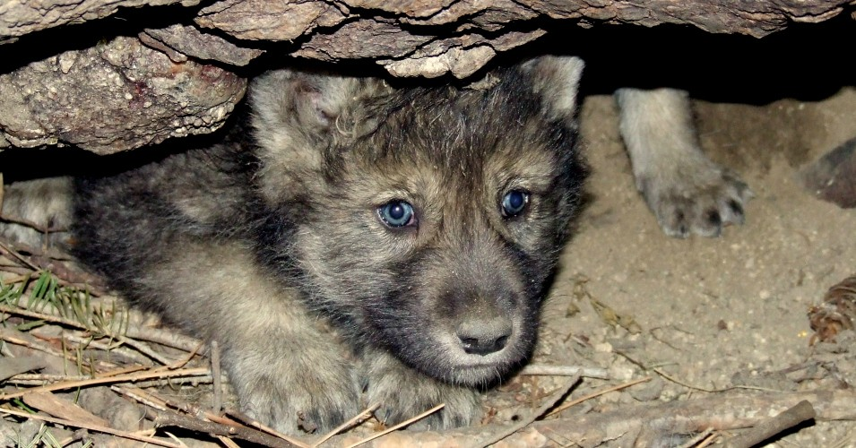 "A gray wolf pup emerges from a den. Conservation groups warn that the mass killing of wolves in Idaho over a one-year period that ended this summer ""represented nearly 60% of the 2019 year-end estimated Idaho wolf population."" (Photo: Hilary Cooley/USFWS)"