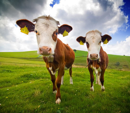 cows don't like factory farms