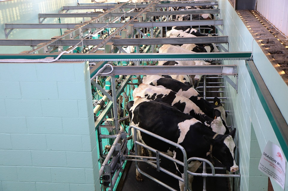 food choices - cows in industrial barn
